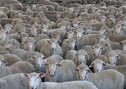 Image result for pictures of animal herds